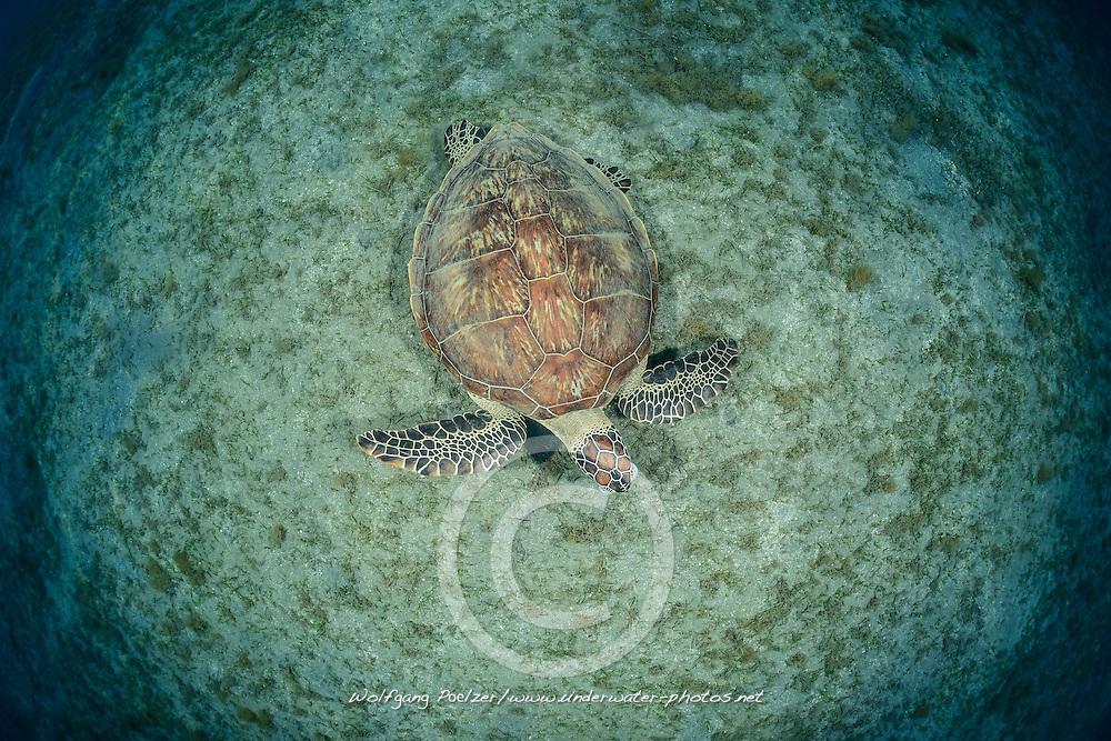Chelonia mydas, Gruene Suppenschildkroete, Green Sea Turtle, Seaturtle, Marsa Alam, Rotes Meer, Ägypten, Red Sea Egypt