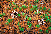Torrey Pine seedlings (Pinus torreyana), Santa Rosa Island, Channel Islands National Park, California USA