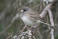 Dark-eyed Junco - Junco hyemalis (Slate-colored race) - female