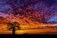A baobab tree silhouetted against a fiery sunrise, Nxai Pan National Park, Botswana.
