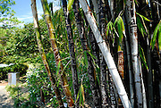 Giant Black Bamboo, carved with graffiti. Royal Botanic Gardens, Sydney, Australia