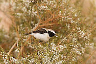 Black-eared Wheatear - Oenanthe hispanica - male