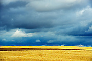 Grain crop and stormy sky<br /> Morse<br /> Saskatchewan<br /> Canada