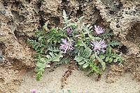 Centaurea raphanina (Centaurea raphanina), Falassarna, Crete