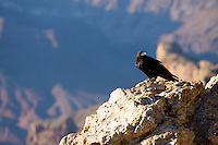Raven perched on rock at Lipan Point, Grand Canyon National Park, Arizona, USA