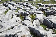 Plants growing in limestone pavement Malham, Yorkshire Dales national park, England, UK