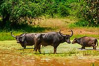 Wild water buffalo, Yala National Park, Southern Province, Sri Lanka.