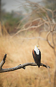 Fish eagle, South Luangwa National Park. Zambia, Africa