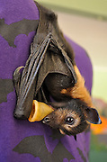 Inside Australia's BAT hospital - where adorable abandoned baby creatures are wrapped in blankets and fed with bottles<br /> <br /> We've gone batty for these cute pictures, which show tiny abandoned baby bats wrapped up in blankets, being fed from bottles.<br /> Swathed in spotted and striped blankets, the fruit bats are being cared for at the Tolga Bat Hospital in Atherton, Australia.<br /> About 300 bat pups are orphaned every year because their mother is ill and can't feed them or has died from tick paralysis.<br /> <br /> <br /> Normally we associate bats with being blood-thirsty, but all these cute critters want to drink is some bottled milk. <br /> These furry creatures are too injured to return to the wild and need to be nursed back to health. <br /> Pictured at the hospital, the black flying animals can be seen sucking on bottles, while they are swaddled in colourful blankets. <br /> <br /> <br /> The bats can also be seen bathing in the bathroom sink and even having their hair combed by workers at the hospital. <br /> The Tolga Bat Hospital is a community group working for the conservation of bats and their natural habitat.<br /> The volunteers care for bats who have come from hundreds of kilometres away in need for urgent care. And they also take in bats for sanctuary after they have been retired from zoos. <br /> <br /> <br /> Volunteers at the hospital spend their time caring for the bats, nursing them back to health and then release them back into the wild when they are ready.<br /> According to the Tolga Bat Hospital's website: 'caring for sick or young animals is like caring for sick or young humans, many tasks are very repetitive but your love and respect for the animals will make it very rewarding.'<br /> Tick paralysis is killing hundreds of flying foxes in Australia each year.<br /> <br /> During the 1990s, flying foxes were mysteriously dying on the Atherton Tableland. <br /> Researchers found that tick paralysis was the problem, prohibiting bats from flying and therefore dooming them to a life on the ground. <br /> Ticks rely on the weather to survive. <br /> If they live during dry an