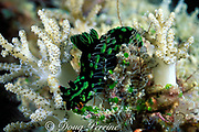nudibranch, Nembrotha kubaryana, feeding on small green tunicates, Kapalai, near Mabul Island, Borneo, Malaysia ( Celebes Sea )