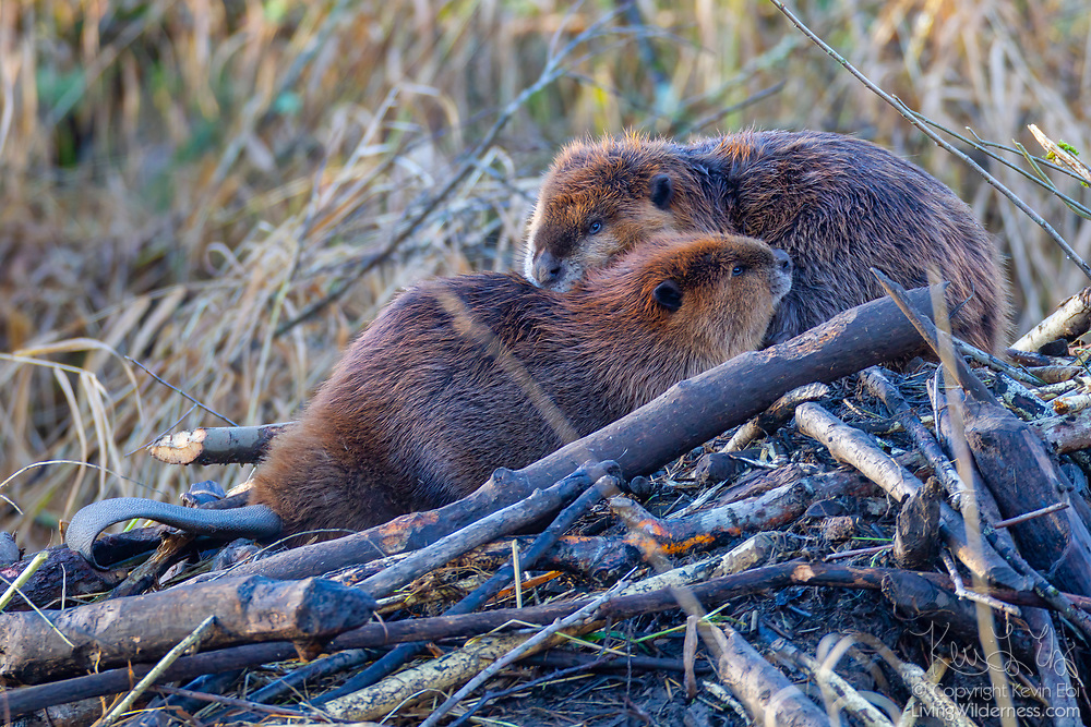 Two North American Beavers (Castor canadensis) rest atop their flooded lodge in North Creek, Bothell, Washington. Beavers are typically most active at night and spend the winter in the safety of their lodges. During significant floods, however, the beavers climb on top of their lodges, waiting for the waters to recede.
