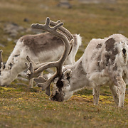 Svalbard reindeer grazing near Kapp Lee