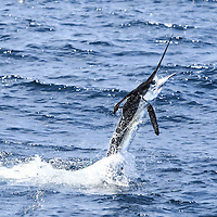 White Marlin in black tux tailwalking off Lobito, Angola