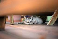 Cecil the cat naps on the back deck of an Oakland, Calif. home, Thursday, March 4, 2021. (Photo by D. Ross Cameron)
