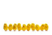 En horisontal rekke med påskekyllinger. Område for å sette inn tekst, for eksempel «god påske», «påskestengt», «påskeferie» osv.