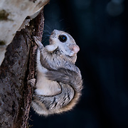 This is a Japanese dwarf flying squirrel (Pteromys volans orii) that has just emerged from its nest at dusk to set out for a night of foraging.