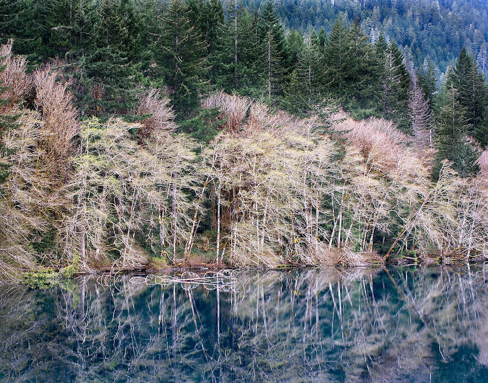 spring red alder trees along the banks of Cresent Lake, Olympic National Park