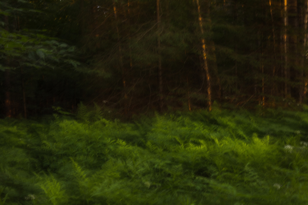 Ferns at the edge of the woods illuminated with evening light, rendered with intentional camera movement.