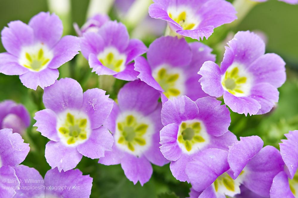 Primula spp. - Tasmania