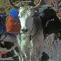 NEPAL, HIMALAYA.   A dzo (cross between yak & cow) carries loads for Mt. Everest-bound trekkers in Khumbu region.