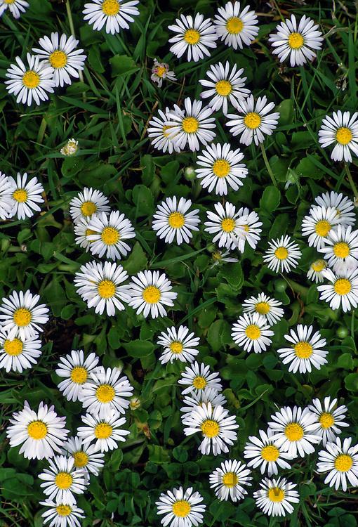 Daisies, England, UK