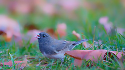 A Dark-Eyed Junco Foraged for seeds on the ground and a late fall afternoon