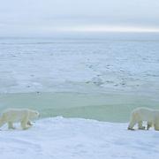 Polar Bear adults waiting for Hudson Bay to freeze. Canada