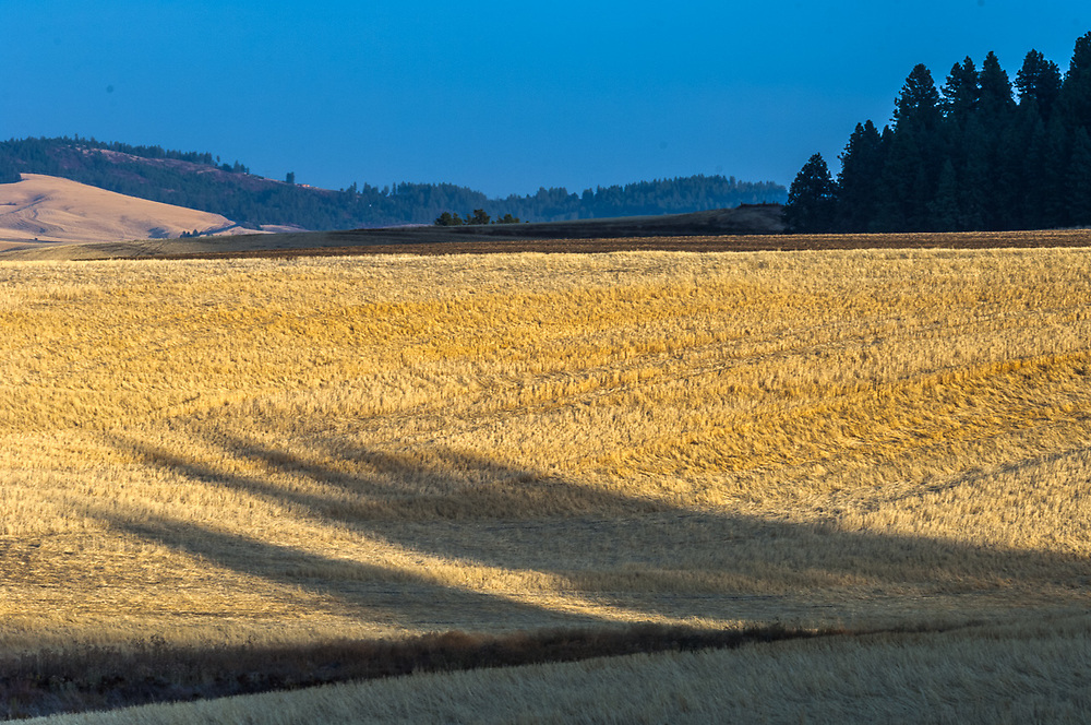 Palouse Hills wheat fields, afternoon light, autumn,September, Whitman County, Washington, USA