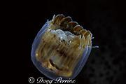 sea thimble jellyfish, Linuche unguiculata, Cayman Islands ( Caribbean Sea )