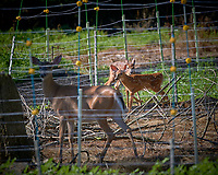 Pair of Fawns and Doe Outside the Electric Fence. Image taken with a Nikon D5 camera and 500 mm f/4 VR lens