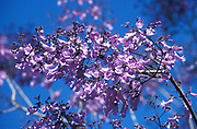 Jacaranda Tree, family Bignoniaceae, found throughout the Americas and Caribbean, flowering, bloom