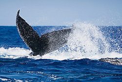 Humpback Whales in a competitive heat run, leading whale throwing fluke at following whale, Megaptera novaeangliae, Hawaii, Pacific Ocean.