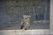Adult eurasian eagle owl (Bubo bubo) in a barn. Photographed at Schluhuwanapark, black forest, Germany