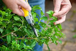 Taking cuttings from a hardy fuchsia