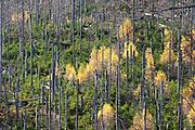 Herbstwald am Rachel, Nationalpark Bayerischer Wald, Bayern, Deutschland | autumn forest on Mount Rachel, national park Bavarian Forest, Bavaria, Germany