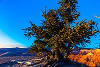 Bristlecone Pine tree, Spectra Point, Cedar Breaks National Monument, Utah, USA