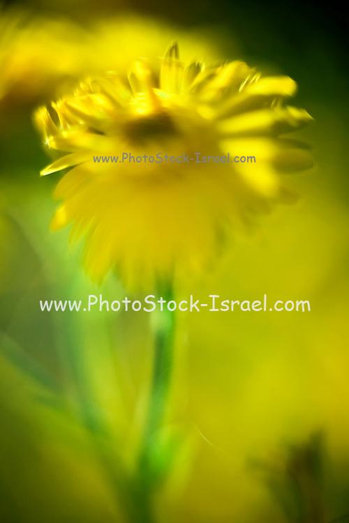 Closeup crop of a vibrant yellow Daisy