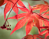 Backlit spring red Maple leaves.  Image taken with a Leica CL camera and 60 mm f/2.8 lens (ISO 100, 60 mm, f/4, 1/200 sec).