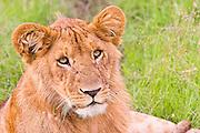 Lioness in the grass, Kenya, Masai Mara