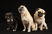 Three pugs at the portrait session at Concord Animal Hospital.