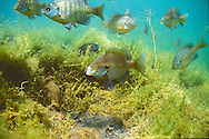 Group of spawning Bluegill<br /> <br /> Roger Peterson/Engbretson Underwater Photo