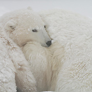 Polar Bear mother and cub snuggling while resting. Churchill, Manitoba, Canada