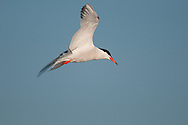 Common Tern flying through the air above Scarborough Beach State Park off the coast of Maine and the Atlantic Ocean