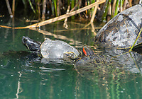 Red-eared Slider, Trachemys scripta elegans, in a lake in the Riparian Preserve at Water Ranch, Gilbert, Arizona