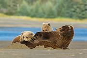 Alaskan brown bear Alaskan brown bear with cubs in Lake Clark National Park
