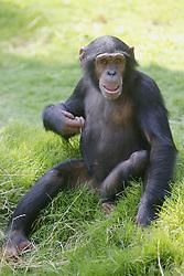 Chimpanzee, Los Angeles Zoo
