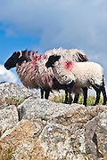 Black-faced mountain sheep and lamb on the bog road near Roundstone, County Galway, Ireland