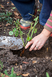 Planting a bare root rose - checking crown is level or just below the top of the soil