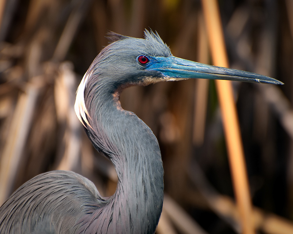 """A stunningly beautiful tricolored heron searches for frogs and small fish on the edge of a """"gator pond"""" in the Big Cypress National Preserve in Southern Florida."""