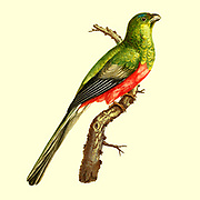 Male Couroucou narina Narina trogon (Apaloderma narina) The Narina trogon is a largely green and red, medium-sized, bird of the family Trogonidae. It is native to forests and woodlands of the Afrotropics.  from the Book Histoire naturelle des oiseaux d'Afrique [Natural History of birds of Africa] Volume 5, by Le Vaillant, Francois, 1753-1824; Publish in Paris by Chez J.J. Fuchs, libraire 1799